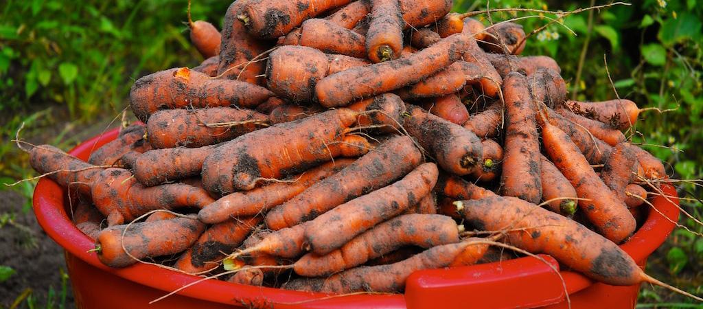 Growing-Inspired-Organic-Gardening-Carrots